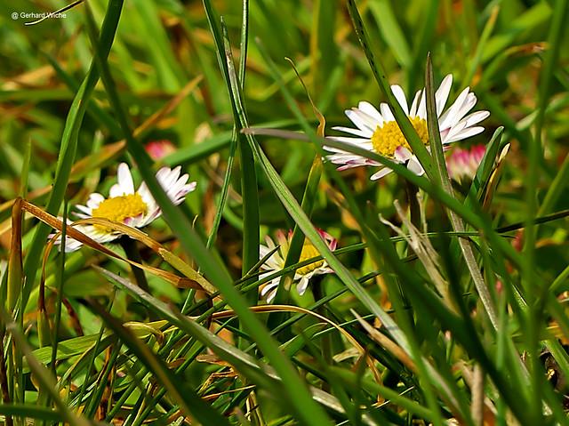 Gänseblumen im Gras