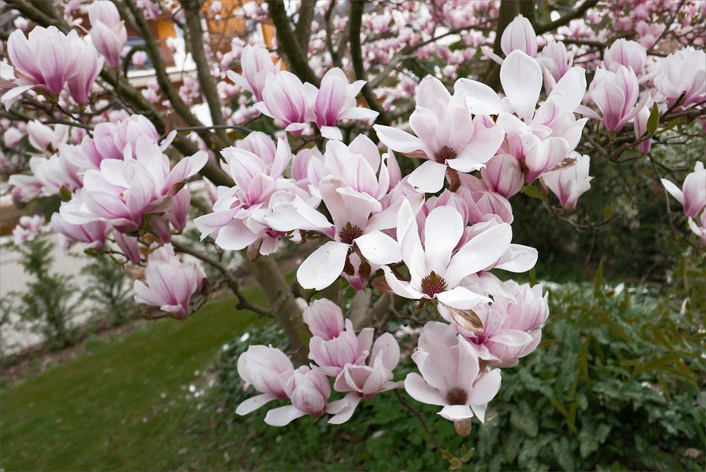 Magnolia 26233234682_0e2e79d1ea_b