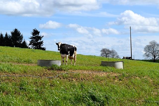 Breton Cow, France | www.rachelphipps.com @rachelphipps
