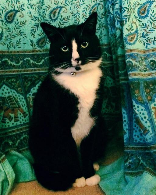 Piglet Percival Smith #cats #tuxedocats #caturday