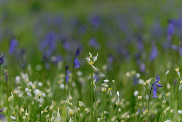 Bluebells_at_Kew_20150424_06