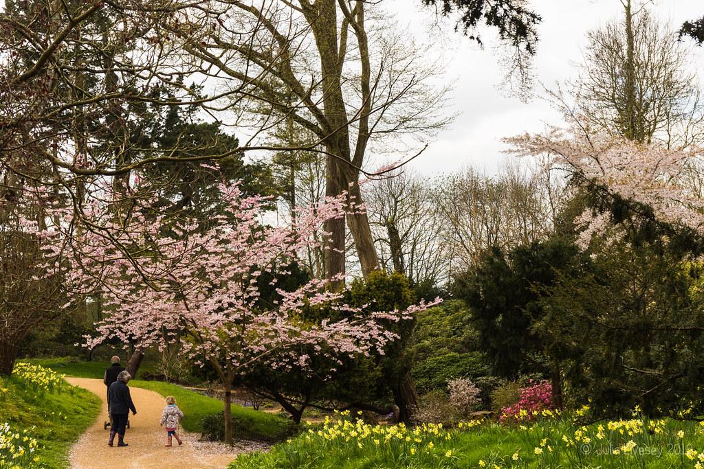 Blossom and daffodils