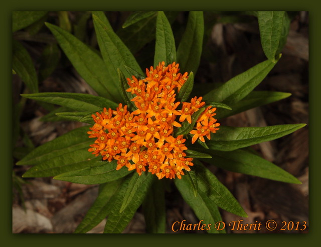 Butterfly Weed / Asclepias tuberosa