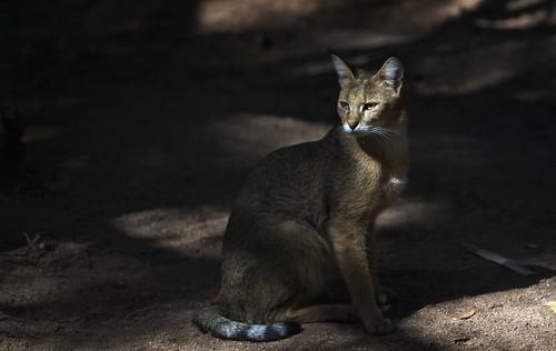 Felis chaus (Wild Cat)