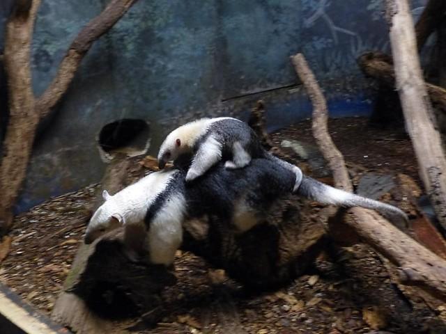 Tamanduababy, Zoo Frankfurt