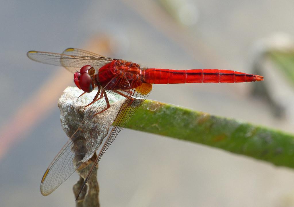 Scarlet Skimmer (Crocothemis servilia)