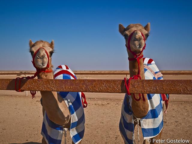Racing camels near Shalim