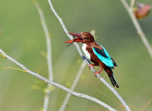 kingfisher with centipede
