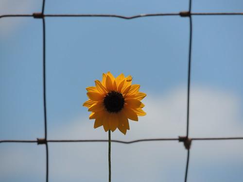 sky usa flower yellow fence texas frame sunflower