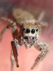 Jumping Spider, Santa Catalina Island, California