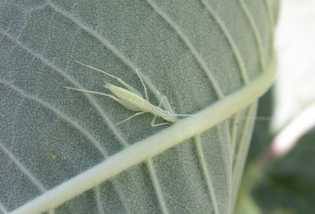 light green bug with skinny grasshopper-like legs and very long antennae