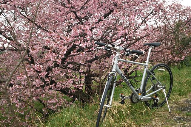 Escape Airと桜