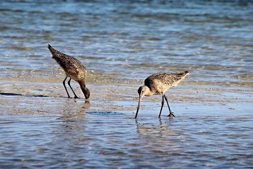 IMG_7077_Marbled_Godwits_at_Howard_Beach