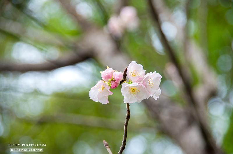 2016.Mar sakura @Miaoli苗栗蓮臺山櫻花