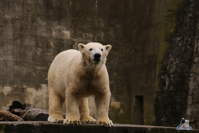 Eisbär Fiete im Zoo Rostock 13.03.2016 Teil 2  0132
