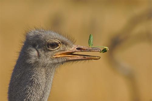 ostrich strauss autruche hwange struisvogel struthio