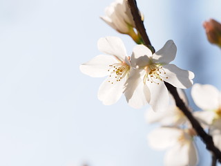 2016 Sakura blossoming