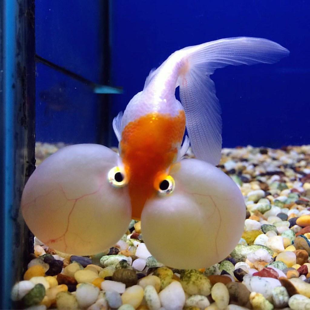 Funny Looking Goldfish...