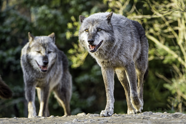Two timberwolves