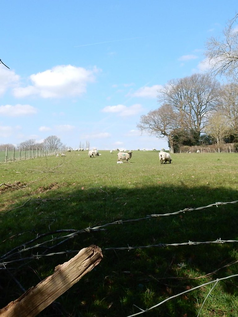 Sheep and wire Ashurst to Eridge