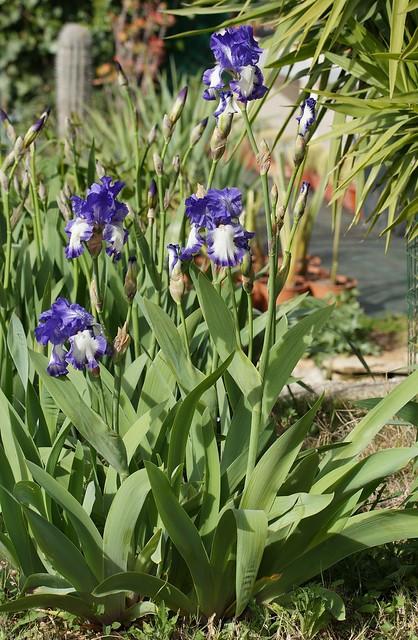 Iris 'Rococo' - Schreiner 1960 26273046190_97b255f9f3_z