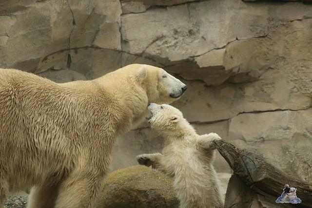 Eisbär Lili im Zoo am Meer Bremerhaven 10.04.2016 Teil 1 18