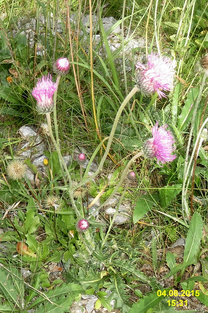 Header of Alpine Knapweed