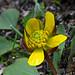Sagebrush Buttercup by Montucky