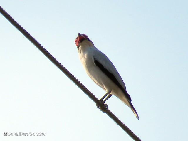 maesbirds 1