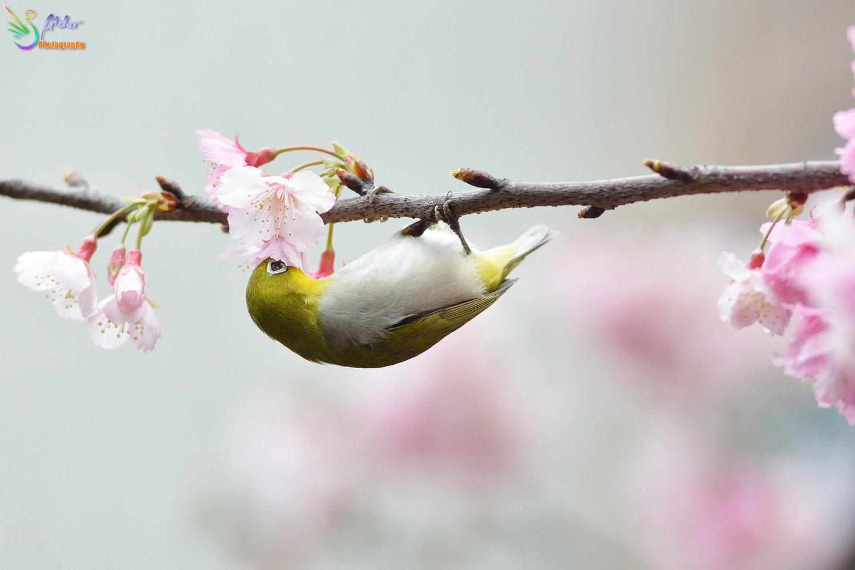Sakura_White-eye_8213