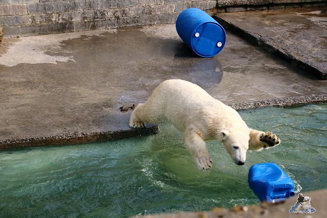 Eisbär Fiete im Zoo Rostock 20.03.2016  0121