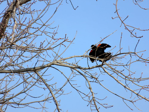 redwing blackbird