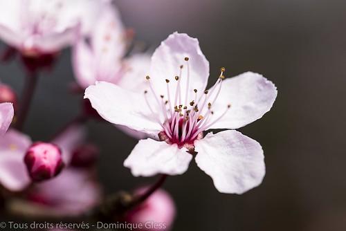 Fleur de prunus - Prunus blossom