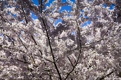 Greenlake Cherry Blossoms