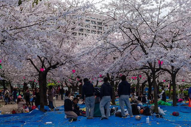 CherryBlossoms_211