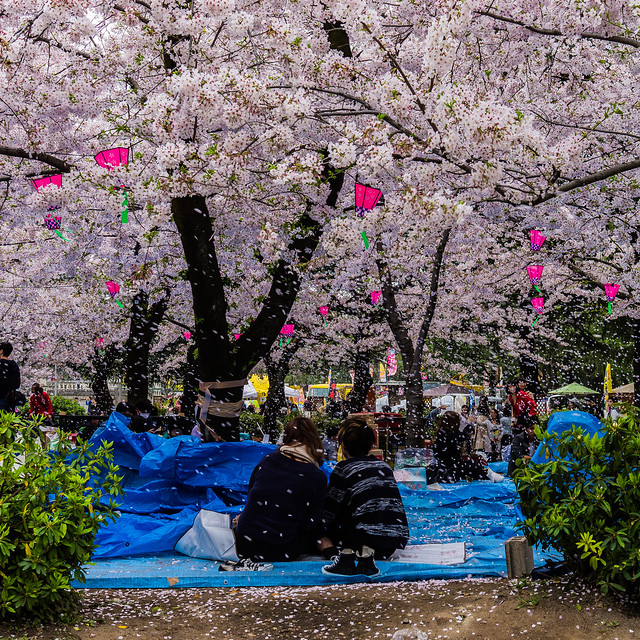CherryBlossoms_215