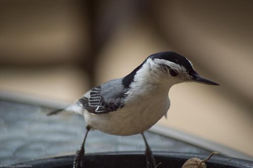 ontario canada birds easter jane hatch nut goderich portalbert huroncounty pcobapril2106