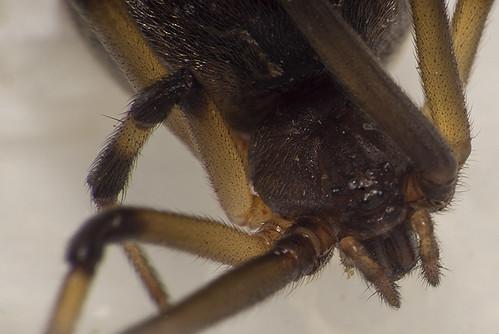 Latrodectus geometricus ♀ (Theridiidae) b