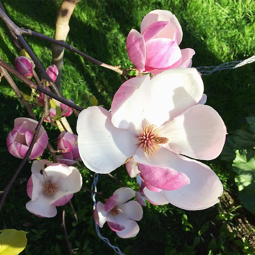 Love the magnolia blossoms 🌸