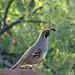 [107/366] gambel quail by marianneleis