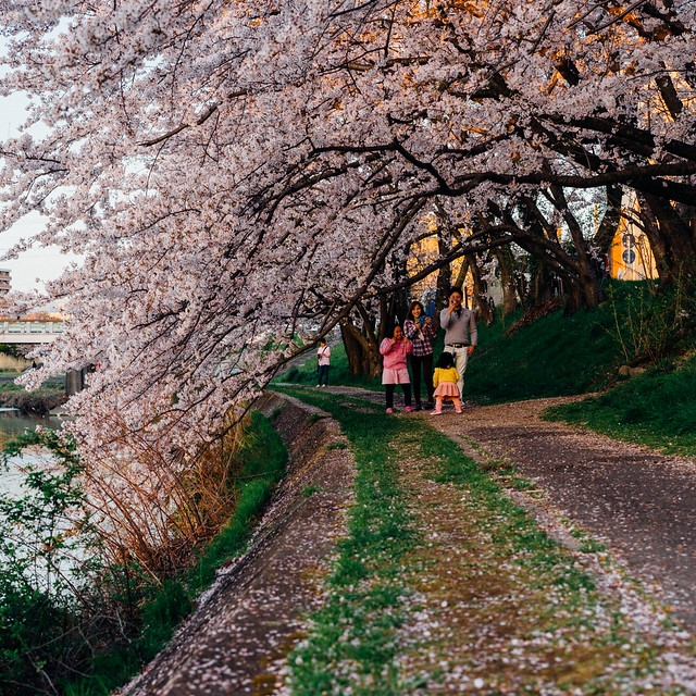 CherryBlossoms_309
