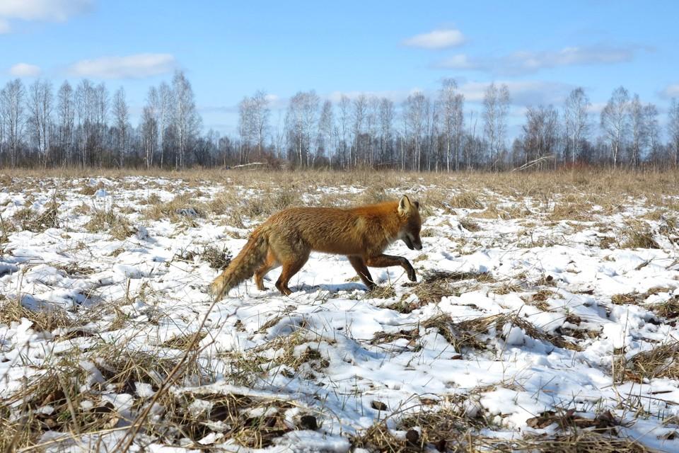 BELARUS-CHERNOBYL/WILDLIFE