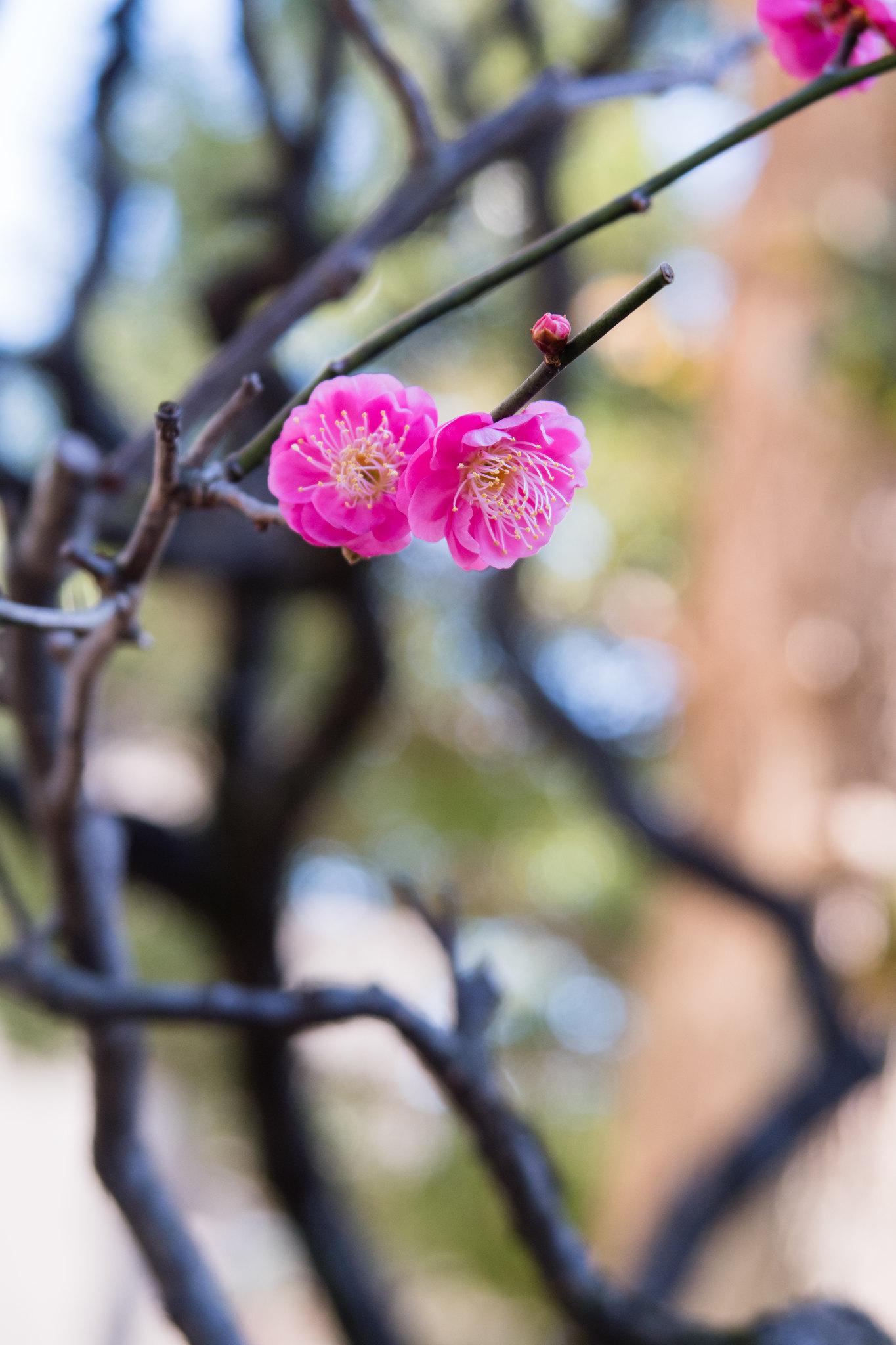 2016-01-03 お寺の寒紅梅 001-4
