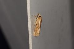 Conocrambus medioradiellus