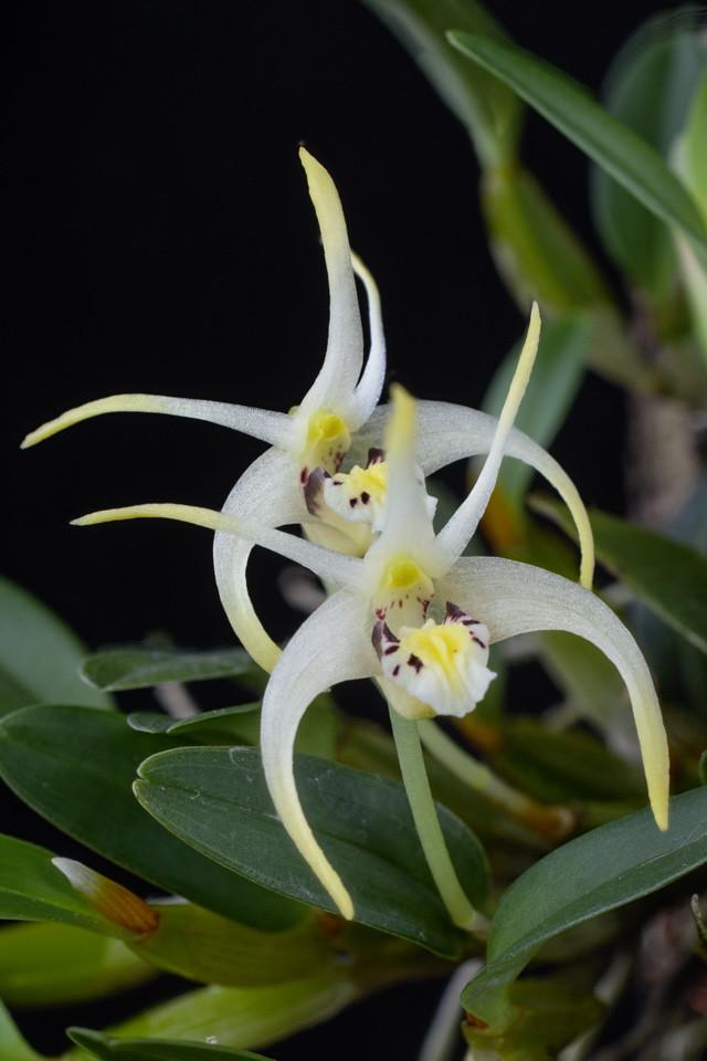 Miniatur-Orchideen Teil 3 - Seite 4 24606980814_526f089a6e_b