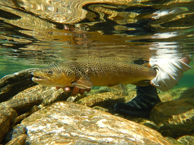 underwater brown trout release New Zealnd fly fishing at cedar lodge