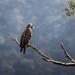 Bald Eagle, Juvenile by Susan Colosimo