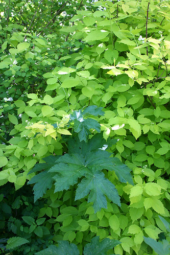 Golden philadelphus