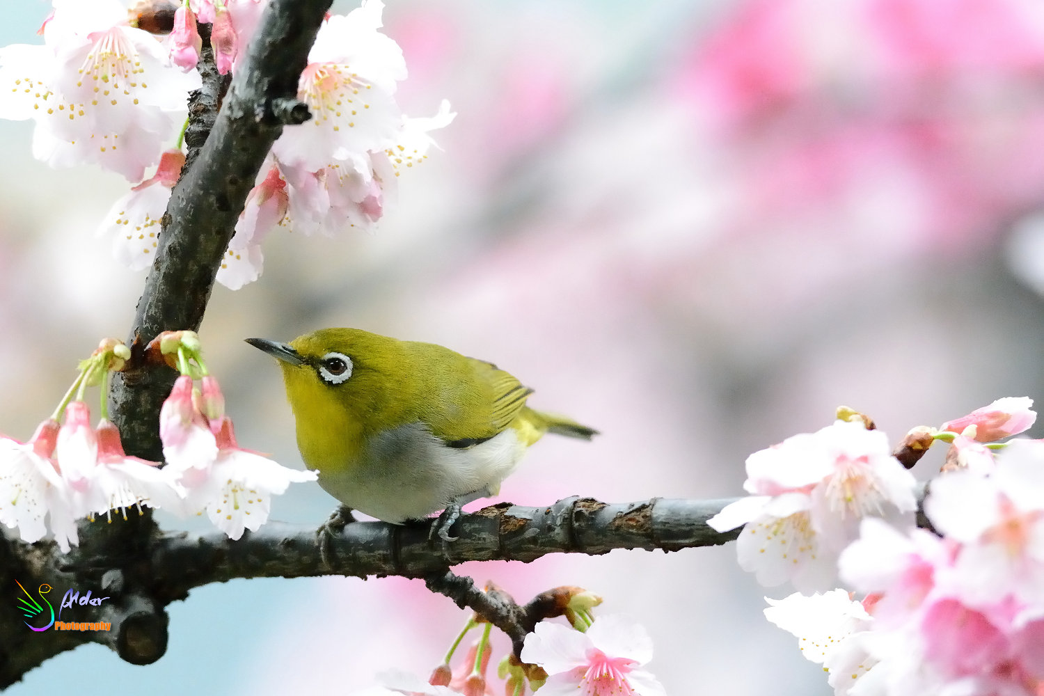 Sakura_White-eye_7154
