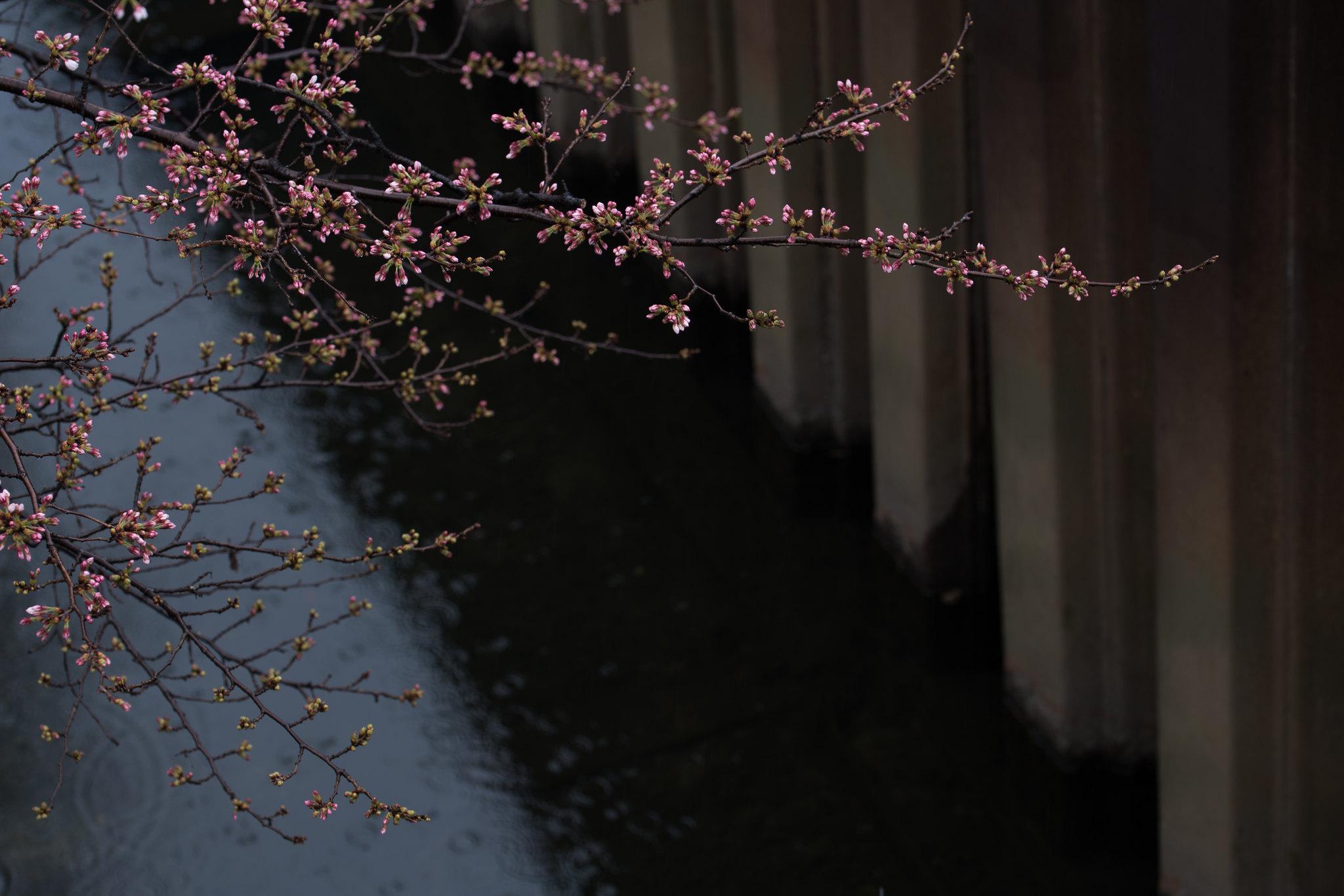 2016-03-19 桜 001-8